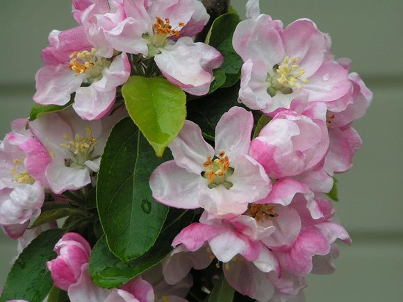 Malus 'Tower of Glamis' blossom