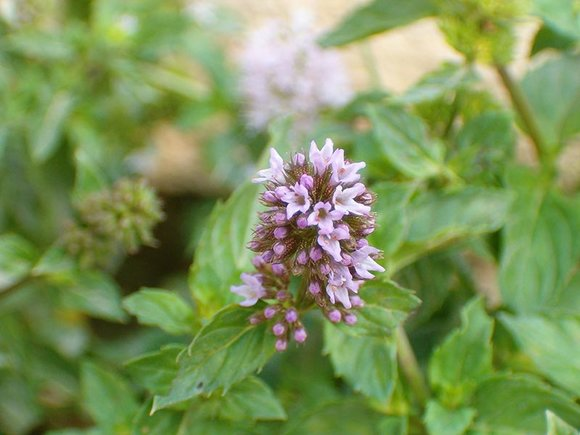 Flower of garden mint