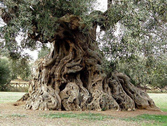 Old Olive tree with gnarled trunk