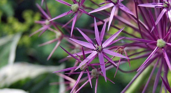 Purple ornamental onion (Allium) flower