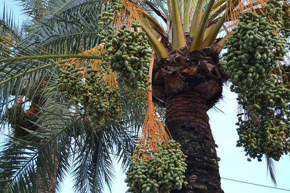 date palm laden with fruit