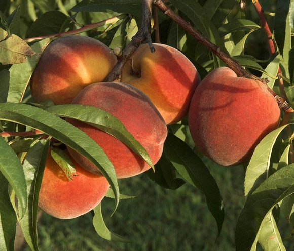 Peaches growing
