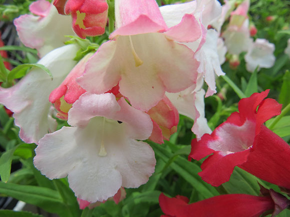 Penstemon Arabesque Appleblossom