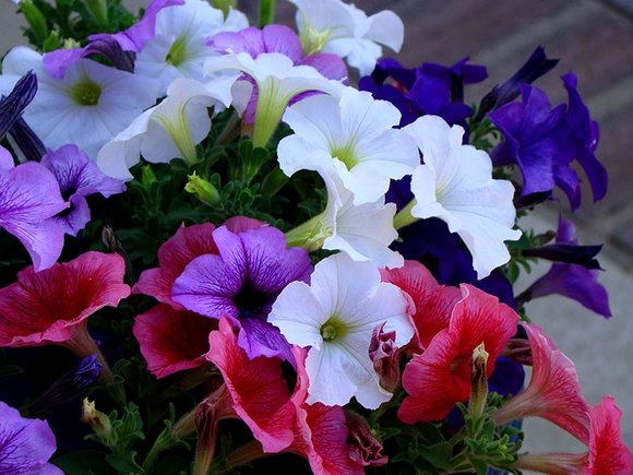 Pink, blue and white petunias