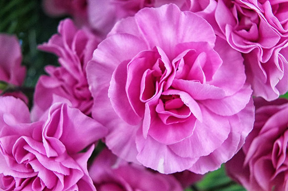 Take carnation cuttings in July