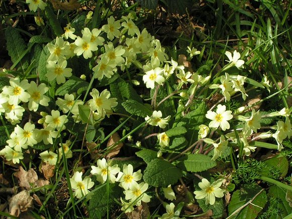 Primula vulgaris (Common Primrose)