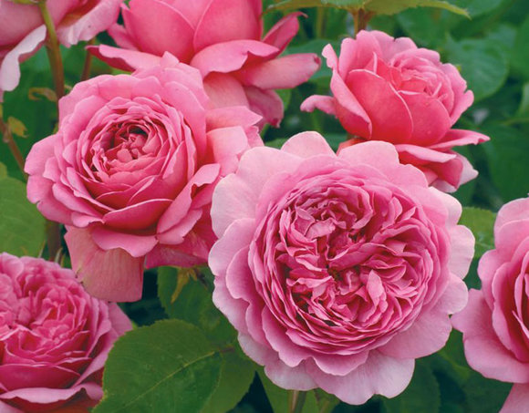 David Austin rose Princess Alexandra of Kent