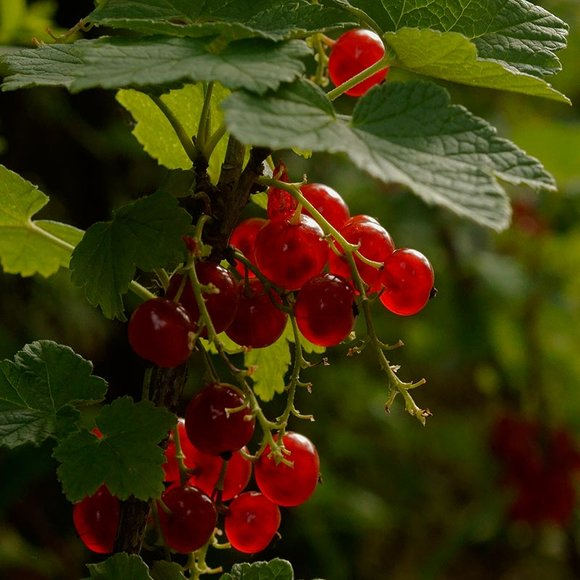 Redcurrants growing