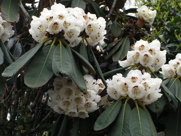 Species Rhododendron falconerii
