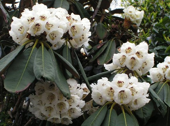 Rhododendron falconerii
