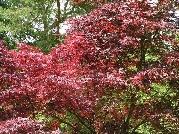 Acer palmatum at Rydal Church, Cumbria