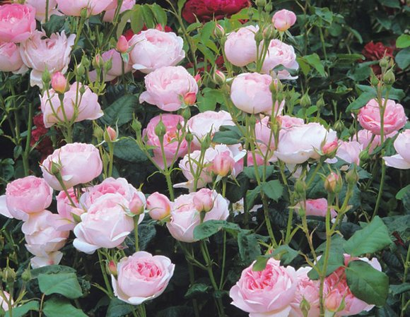David Austin rose Scepter'd Isle