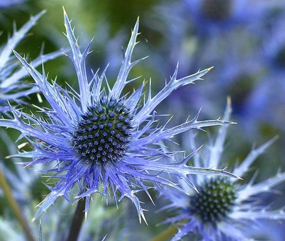 Blue Sea Holly (Eryngium)