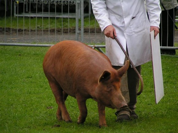 Champion Tamworth boar at Westmorland County Show
