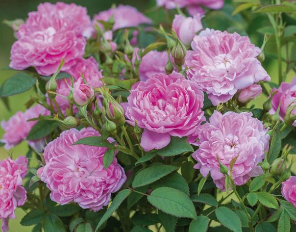 David Austin rose 'Sir Walter Scott'