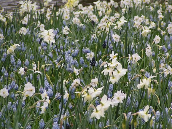 Blue muscari with white narcissus