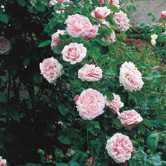 David Austin rose St Swithun