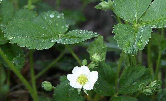 Strawberry foliage and flower