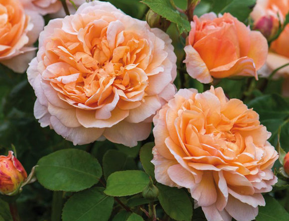 David Austin rose The Lady Gardener