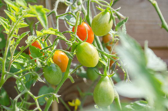Tomatoes need regular watering and feeding
