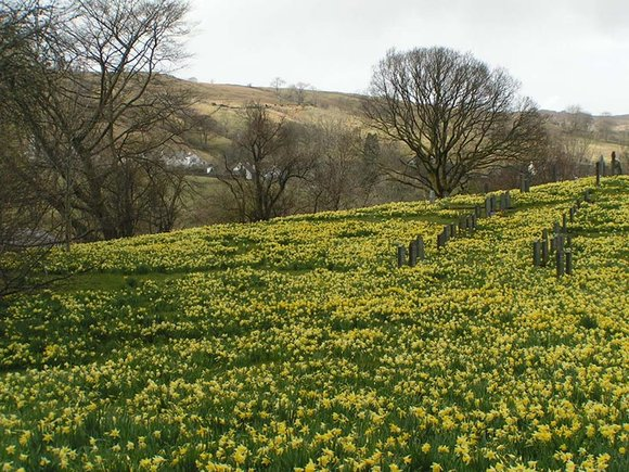 Wild daffodils at Troutbeck Church, Lake District, Cumbria