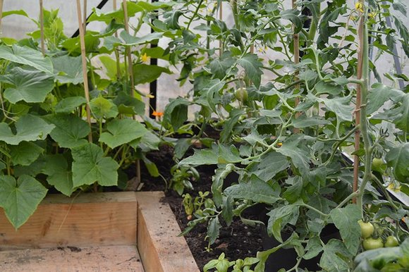 Cucumbers & tomatoes in greenhouse