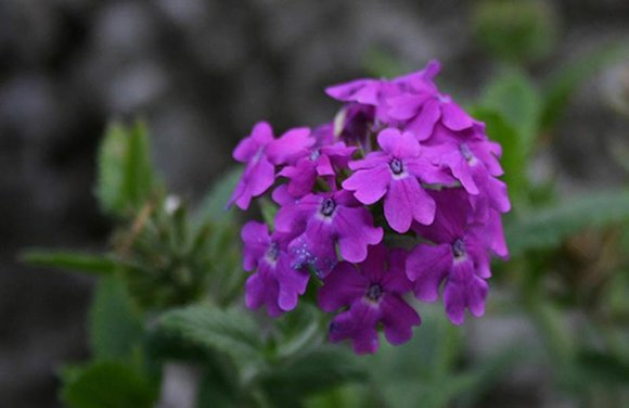 Verbena trailing purple