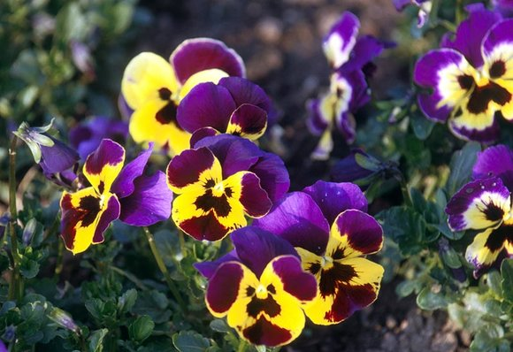 Bedding violas