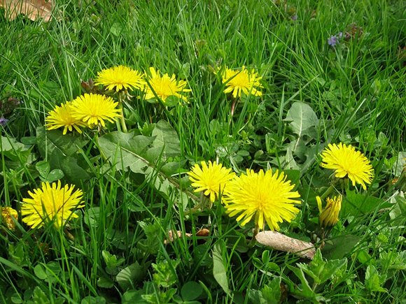 Dandelions growing in grass