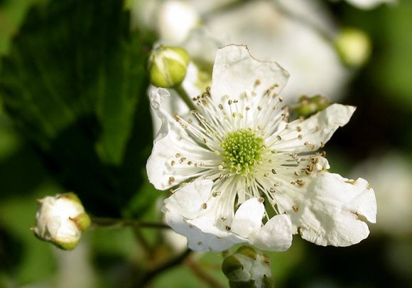 Bramble (blackberry) flower
