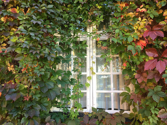 Prune climbers such as Virginia creeper to keep them under control
