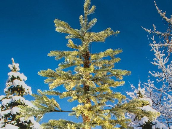 Windsor Spruce Artificial Christmas Tree