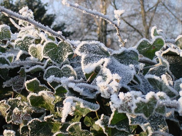Ivy (Hedera helix) in winter covered in frost