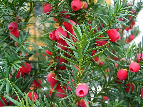 Yew (Taxus baccata) branches with berries