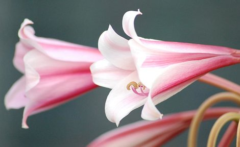 mid summer flowering bulbs lily