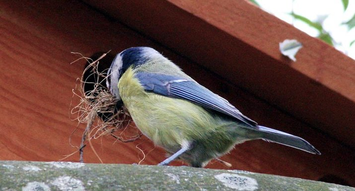 Blue tit starting to build a nest in a nest box