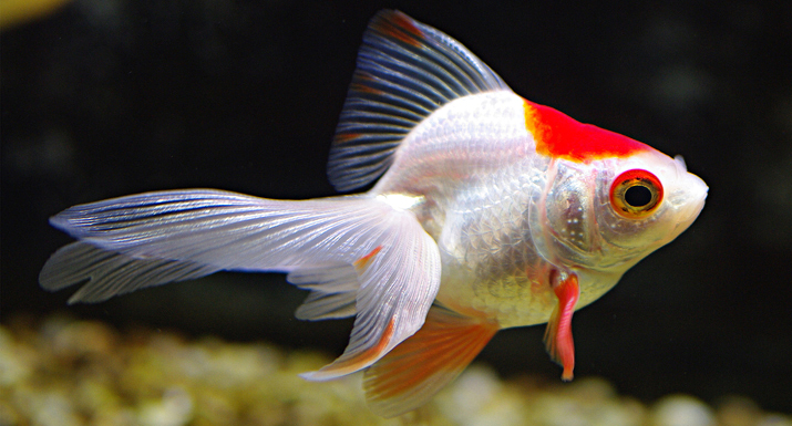 How to look after fancy cold water goldfish hayes garden for Outdoor goldfish for sale