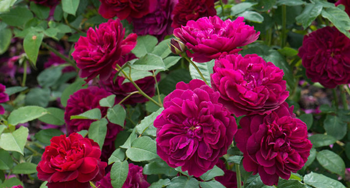 David Austin rose' Darcey Bussell'