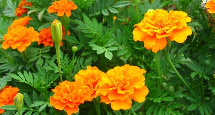 Plant marigolds in between the veggies for eco-friendly pest control ...