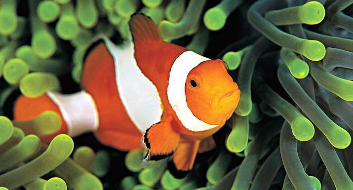 How to look after clownfish hayes garden world for What do clown fish eat