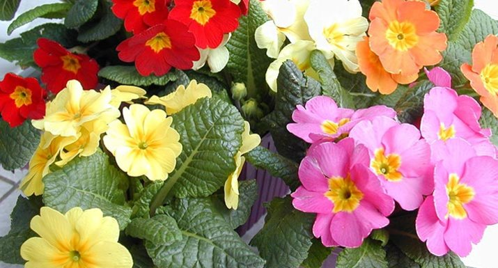 Primulas in purple containers