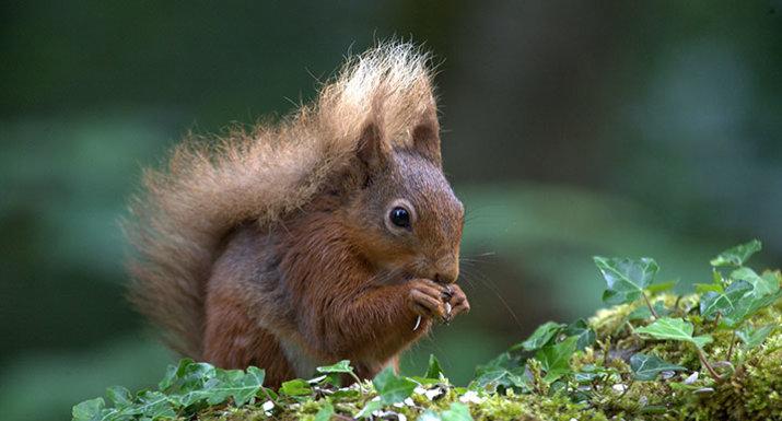 req squirrel by P Skillen