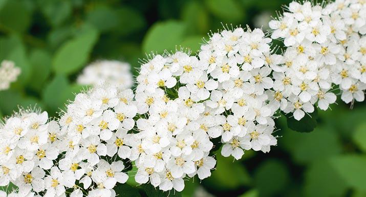 Garden plants hayes garden world for Flowering landscape bushes
