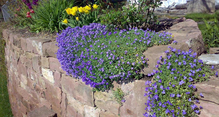 Aubretia growing over a stone wall with tulips
