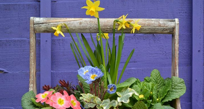 container planted with spring plants: daffodils, primulas, ivy