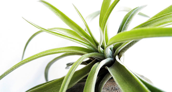 air plants are easy to care for and make an interesting
