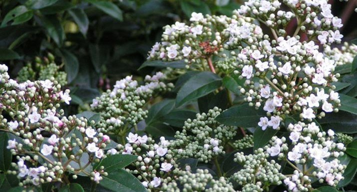 Follow our hints and tips for year round colour in a problem windy spot hayes garden world - Viburnum tinus eve price ...