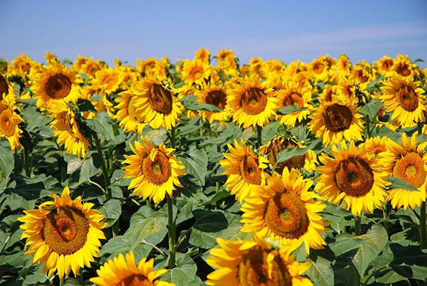 Plant Sunflower seeds in May