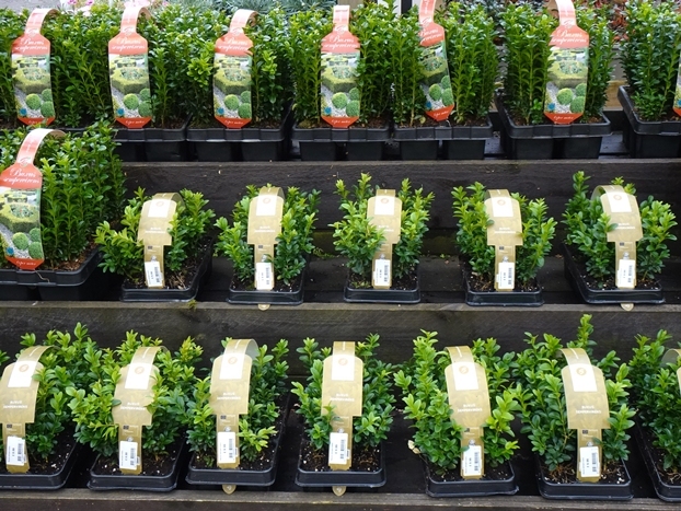 Buxus hedging packs