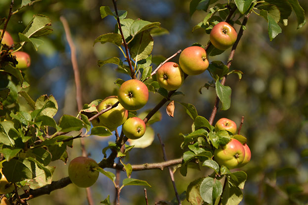 Malus sylvestris (Crab Apple)